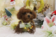 Teacup puppy poodle #160