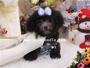 Big Teacup poodle #140 showing~