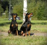Puppies German Pinscher