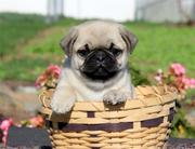 Stunning Pug Puppies For Sale Ready now