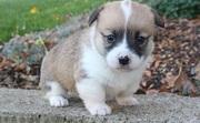 Pembroke Welsh Corgi puppies for sale