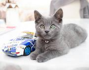 Places to buy Russian blue kittens