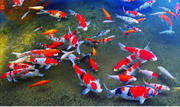 Are you a  Fish Lover | Shop Koi Food | Koi Fish Near Me | Accessories