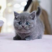 munchkin cats rescue