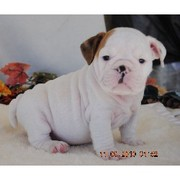 ENGLISH-PUPPY-FOR -SALE